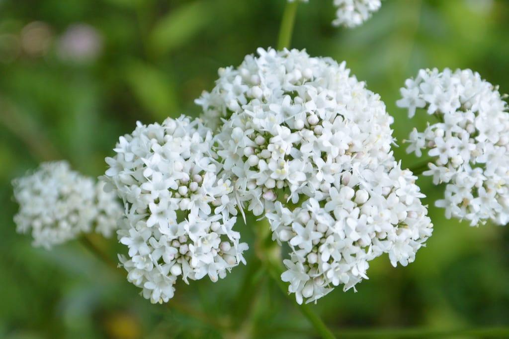baldrian, kräuter, Pflanze, Heilpflanze, Garten, Senioren
